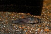 Heptapteridae