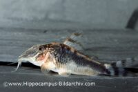 Callichthyidae