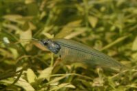 Siluridae