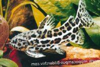 Auchenipteridae