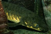Ceratodontidae